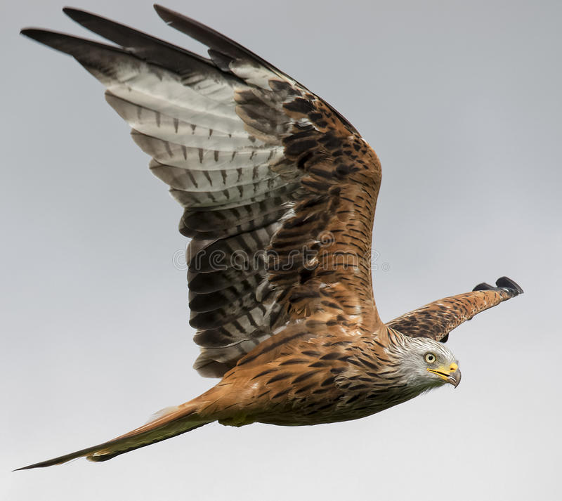 Red Kite South Wales royalty free stock photo