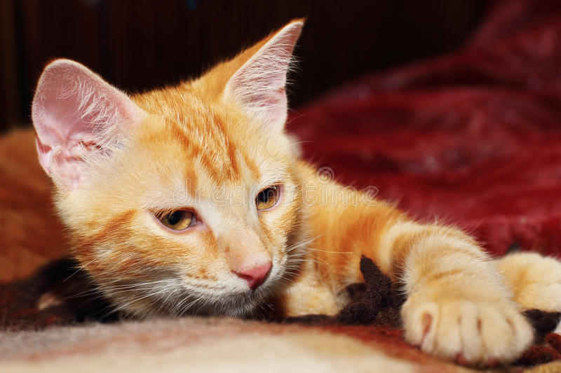 Download Red kitten stock photo. Image of fluffy, cute, mouth - 25740898