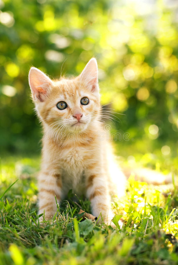 Red kitten. In the garden in a sunny day stock photo