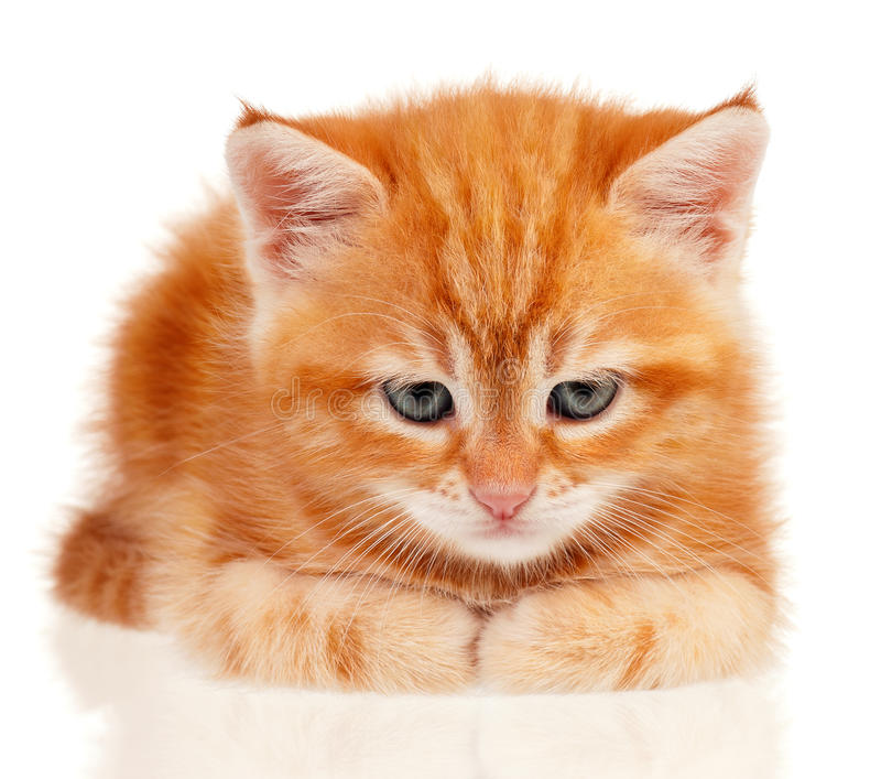 Download Red kitten stock image. Image of adorable, pedigree, cute - 26036463