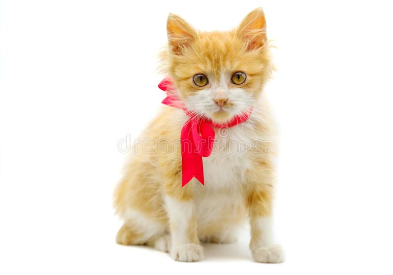 Adorable Kitten In A Bow Tie Stock Photo - Image of cute, posing: 40841196