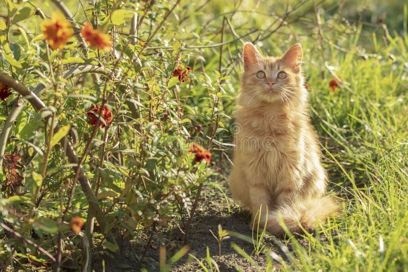 Red Kitten In A Garden stock image