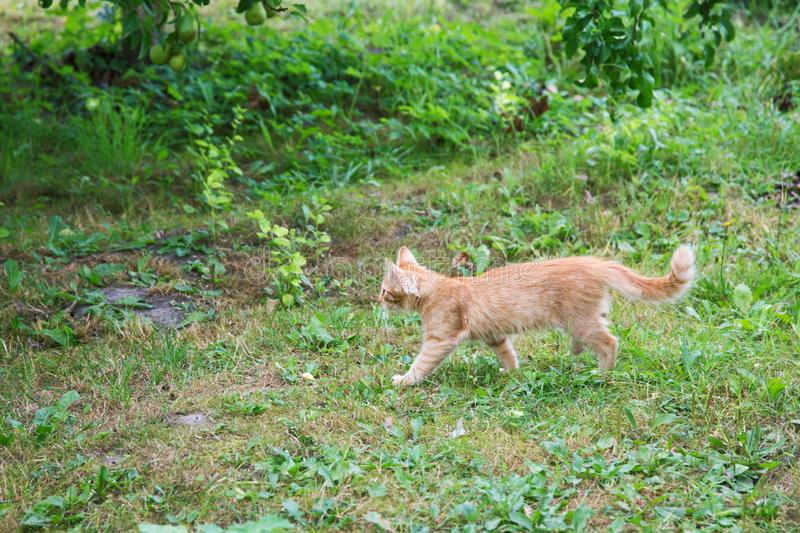 Red kitten hunting in the garden. On a summer day stock photography