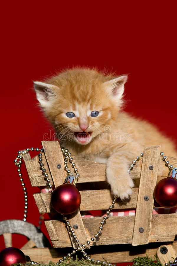 Red kitten meowing Christmas. On red Background royalty free stock images