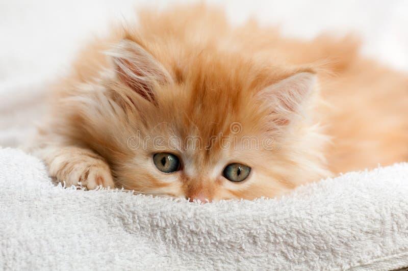 Red kitten nestled against a white towel royalty free stock image