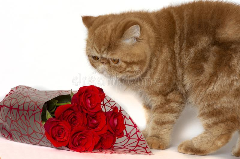 Red kitten next to a bouquet of roses on a white background stock photo