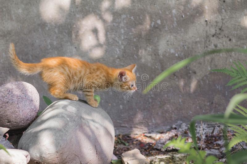 Red kitten on a stone on a sunny summer day in the park. in full growth. the kitten is ready to jump stock photos
