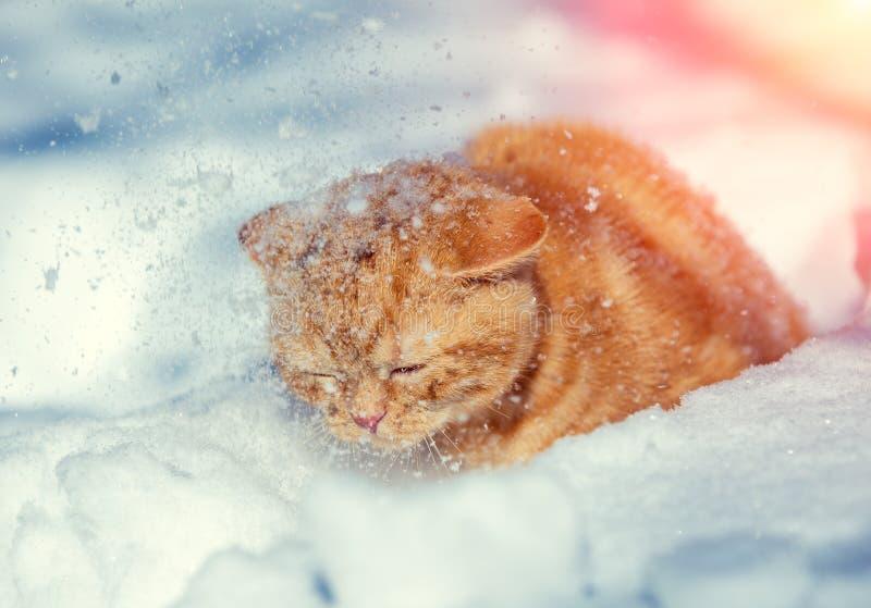 Red kitten walking in deep snow royalty free stock photo