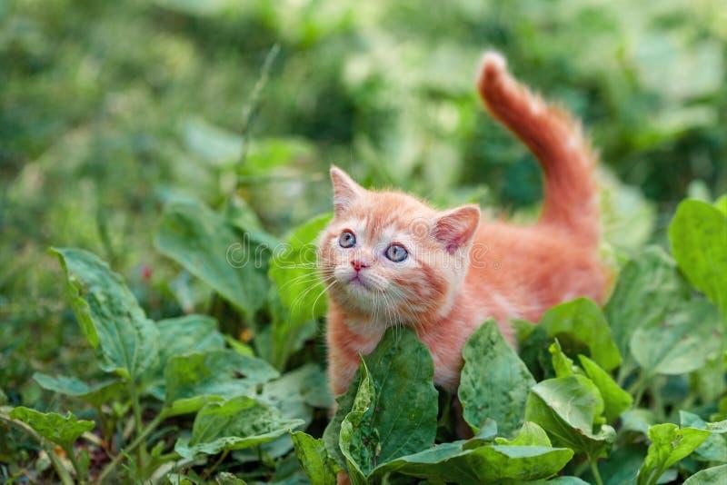 Red kitten walking on the plantain stock photos
