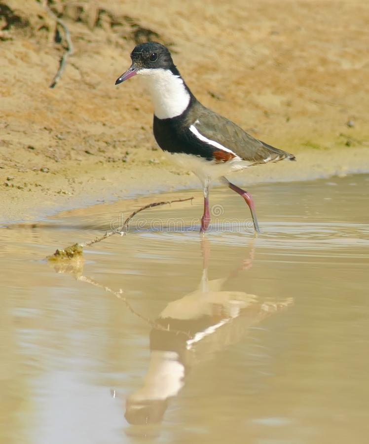 Red-kneed dotterel royalty free stock photos