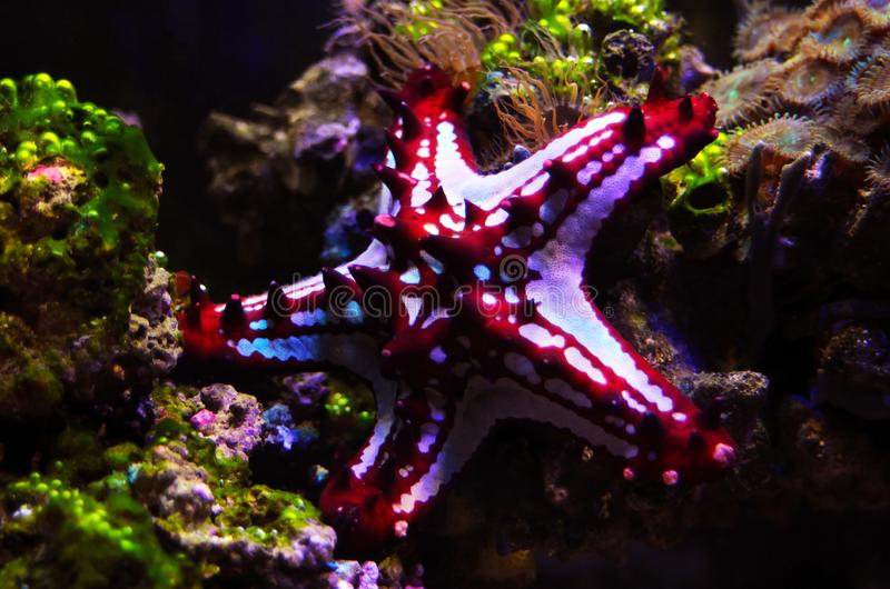 Red Knob Sea Star Protoreaster linckii. Protoreaster linckii, the red knob sea star, red spine star, African sea star, or the African red knob sea star, is a stock photos