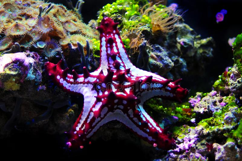Red Knob Sea Star Protoreaster linckii. Protoreaster linckii, the red knob sea star, red spine star, African sea star, or the African red knob sea star, is a royalty free stock image