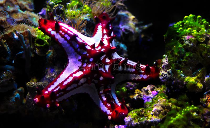 Red Knob Sea Star Protoreaster linckii. Protoreaster linckii, the red knob sea star, red spine star, African sea star, or the African red knob sea star, is a stock photo