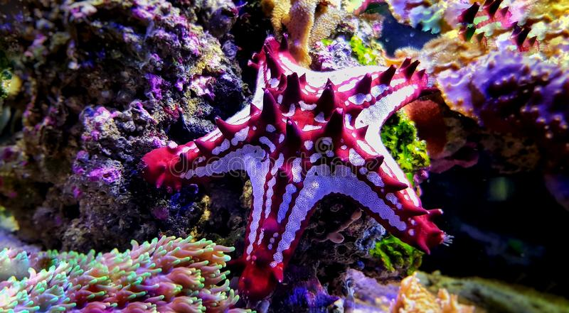 Red Knob Sea Star Protoreaster linckii. Protoreaster linckii, the red knob sea star, red spine star, African sea star, or the African red knob sea star, is a stock photography