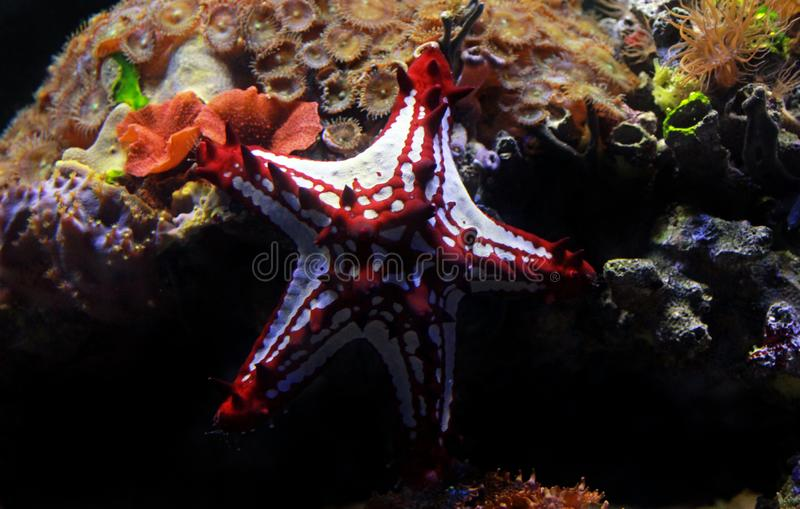 Red Knob Sea Star Protoreaster linckii. Protoreaster linckii, the red knob sea star, red spine star, African sea star, or the African red knob sea star, is a royalty free stock images