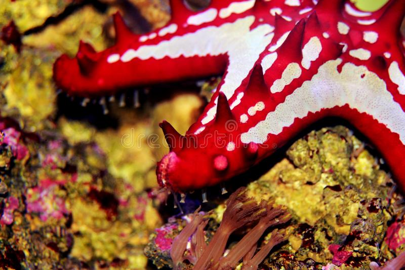 Red Knob Sea Star Protoreaster linckii. Protoreaster linckii, the red knob sea star, red spine star, African sea star, or the African red knob sea star, is a royalty free stock photos