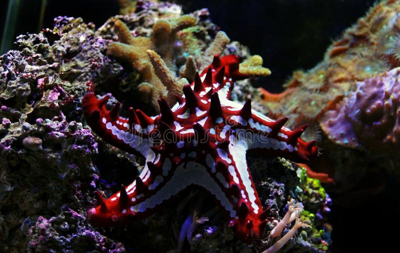 Red Knob Sea Star Protoreaster linckii. Protoreaster linckii, the red knob sea star, red spine star, African sea star, or the African red knob sea star, is a stock images