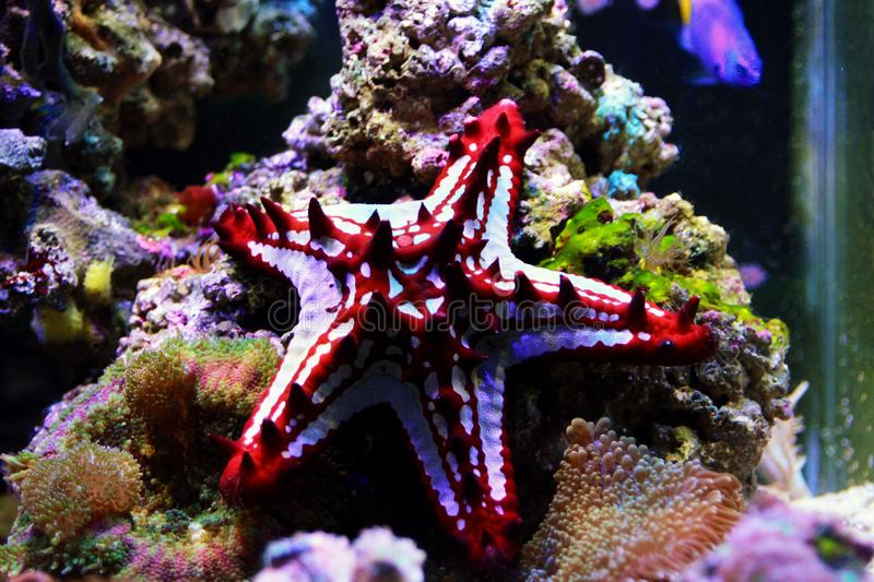 Red Knob Sea Star Protoreaster linckii. Protoreaster linckii, the red knob sea star, red spine star, African sea star, or the African red knob sea star, is a royalty free stock photography