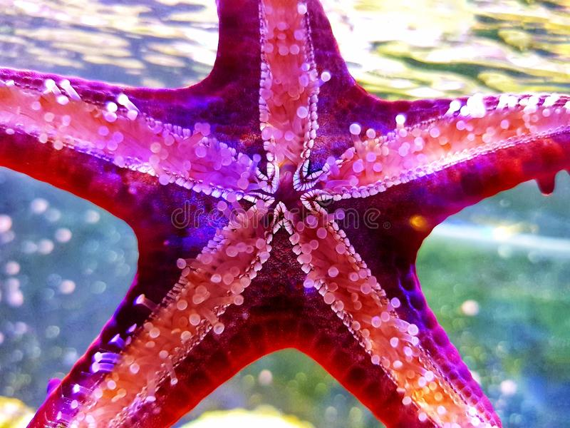 Red Knob Sea Star Protoreaster linckii. Protoreaster linckii, the red knob sea star, red spine star, African sea star, or the African red knob sea star, is a stock image