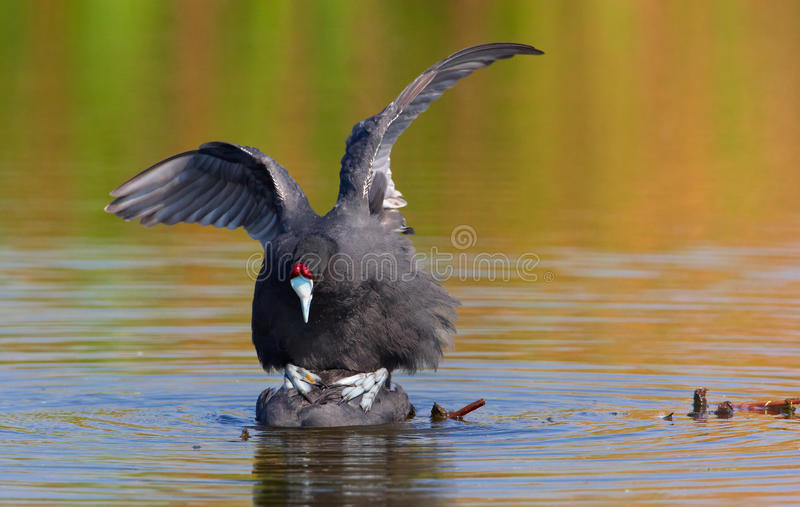 Red-knobbed Coot Or Crested Coot Royalty Free Stock Photos