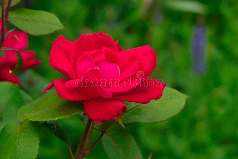 Red Knockout Rose against Green Background. Knockout Rose red against green background stock photo