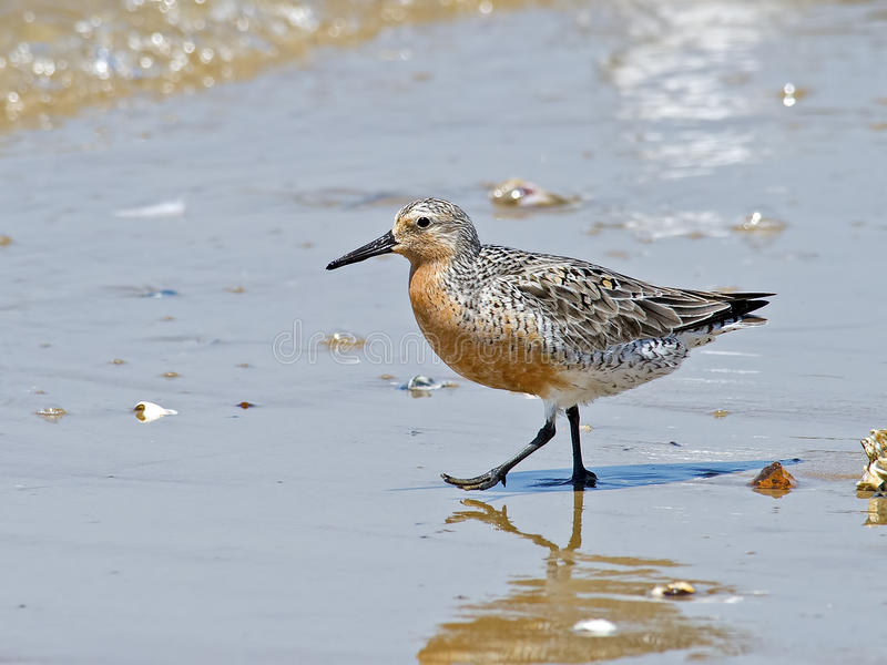 Red Knot on Beach royalty free stock photo