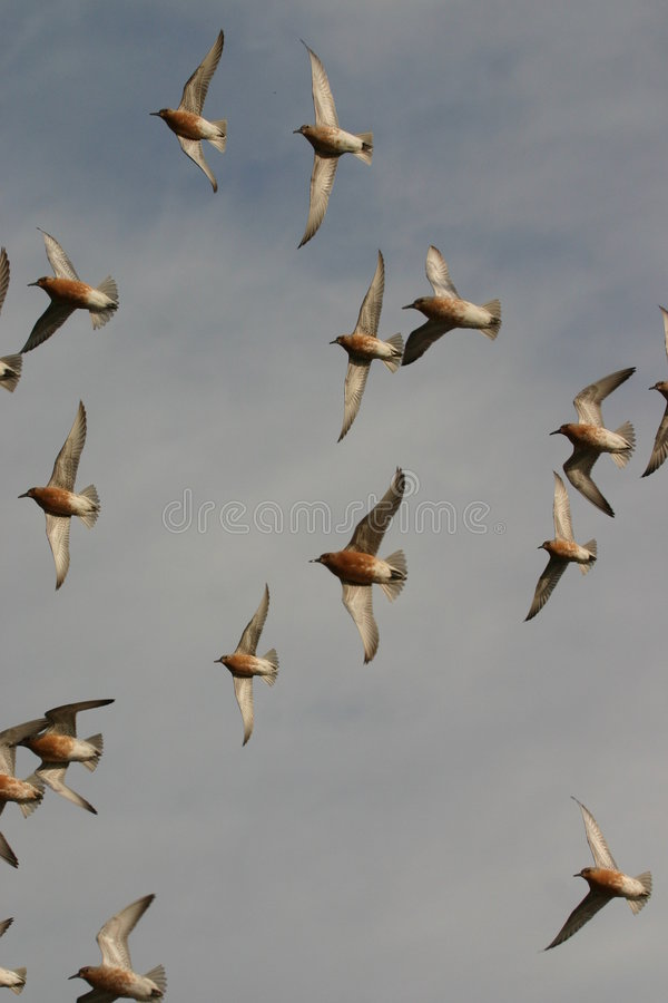 Red knots in flight stock images