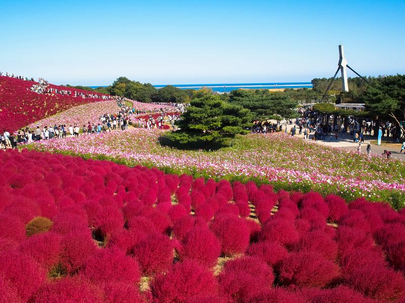 Red Kochia at Hitachi Seaside Park royalty free stock photos