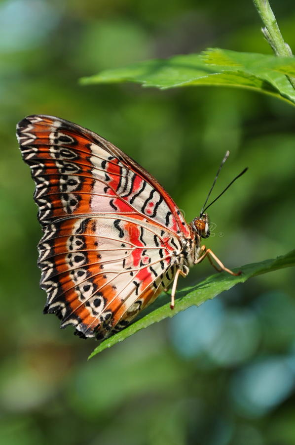 The Red Lacewing Butterfly. Cethosia biblis,aka,red lacewing butterfly,poses for a closeup royalty free stock photo