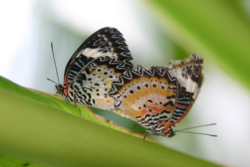 Red Lacewing Butterfly. Couple Mating royalty free stock image