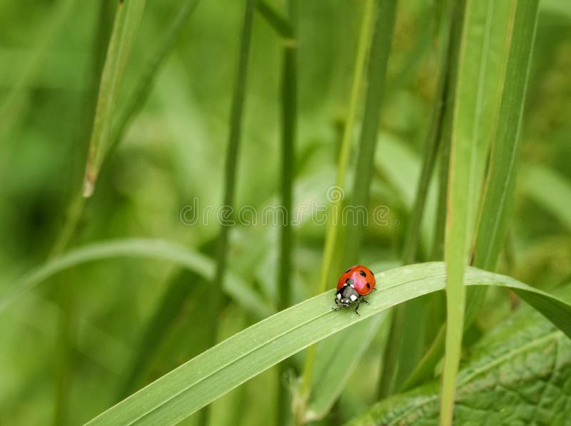 Red lady bug royalty free stock image