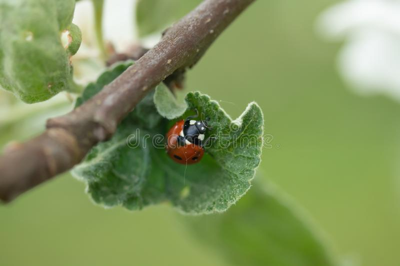 Red ladybug on apple tree leaf macro close-up royalty free stock image