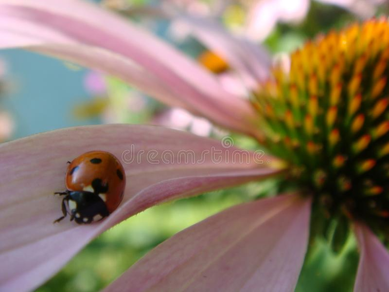 Red ladybug on Echinacea flower, ladybird creeps on stem of plant in spring in garden in summer. Pink Echinacea flower in the stock image