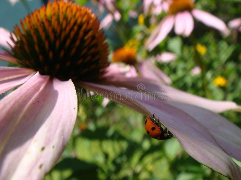 Red ladybug on Echinacea flower, ladybird creeps on stem of plant in spring in garden in summer. Pink Echinacea flower in the royalty free stock images