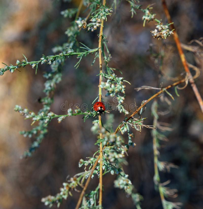 Red ladybug on a green branch of wormwood royalty free stock image