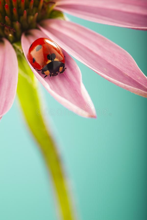 Red ladybug on Pink flower, ladybird creeps on leaf of plant in spring in garden in summer stock photo