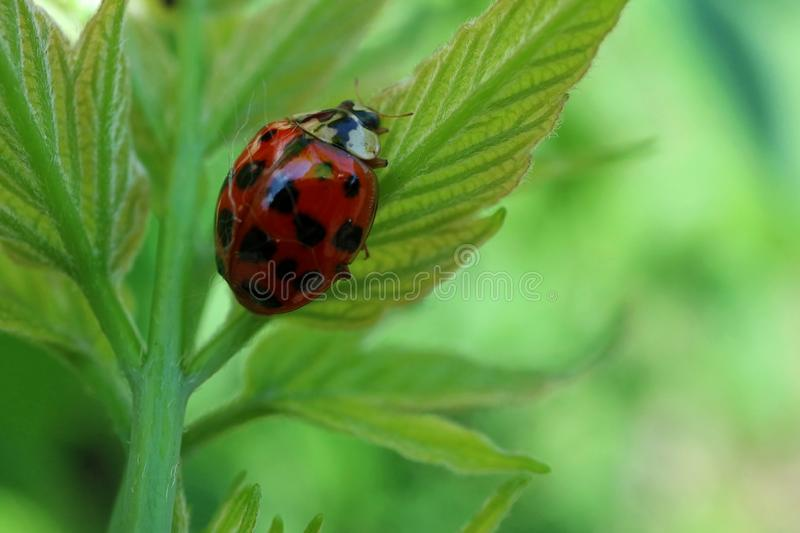 Red ladybug walking on a leaf royalty free stock image