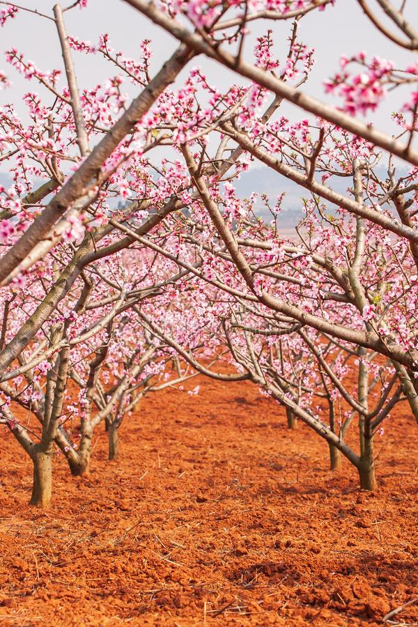 Red land and blooming Peach cherry in the branches of trees, pink flowers in full bloom. Spring blossom. Dongchuan, Kunming stock images