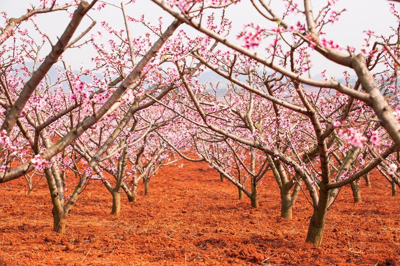 Red land with blooming Peach cherry trees, pink flower in full b royalty free stock image