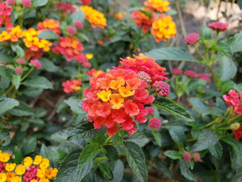 Red lantana flowers with yellow in a garden. Nature and botany, flora and natural life, flower petals with intense colors for garden and park decoration, beauty stock images