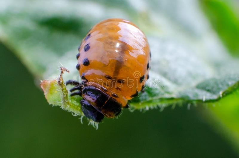 Red larva of the Colorado potato beetle eats potato leaves.  royalty free stock images