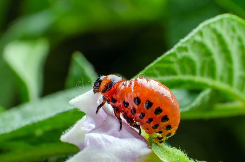 Red larva of the Colorado potato beetle eats potato leaves.  royalty free stock photography