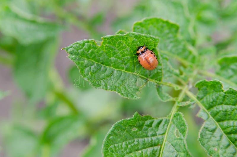 Red larva of the Colorado potato beetle stock photo