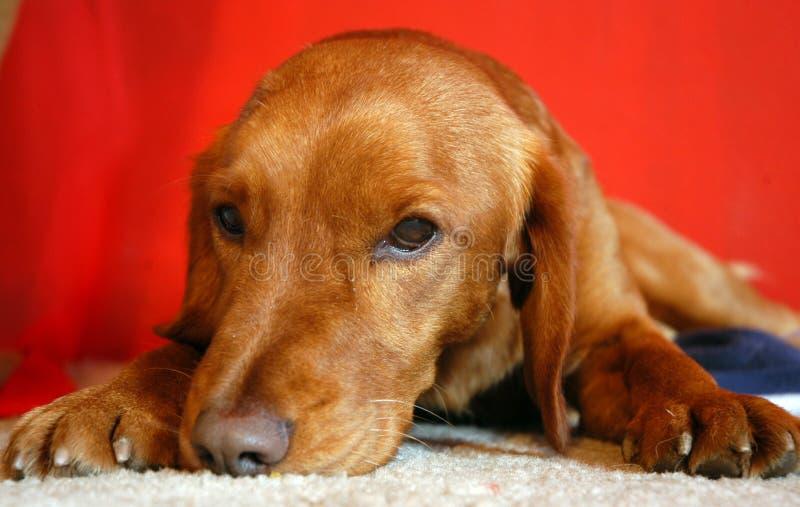 Download Red lazy dog stock photo. Image of sleepy, lazy, laying - 1879008