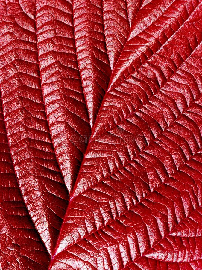 Free Red Leaf. Stock Image - 12377831