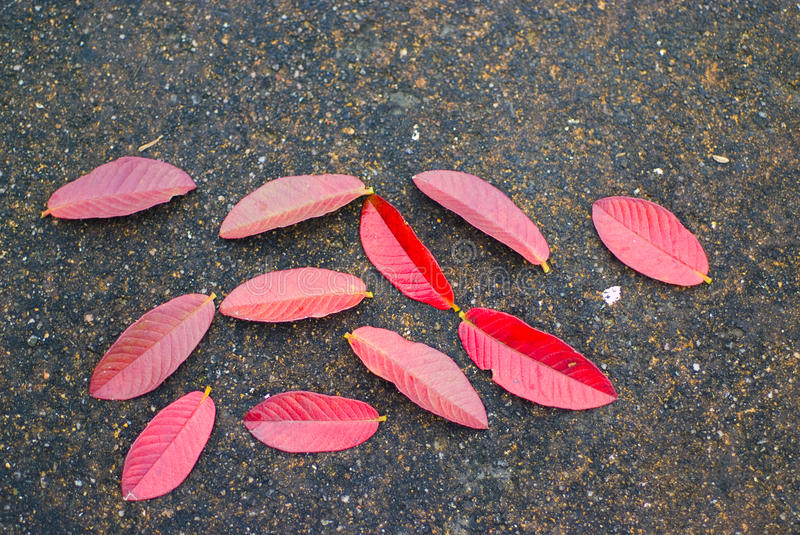 Red leaf. Natural background of bright red leaves on the ground royalty free stock photos