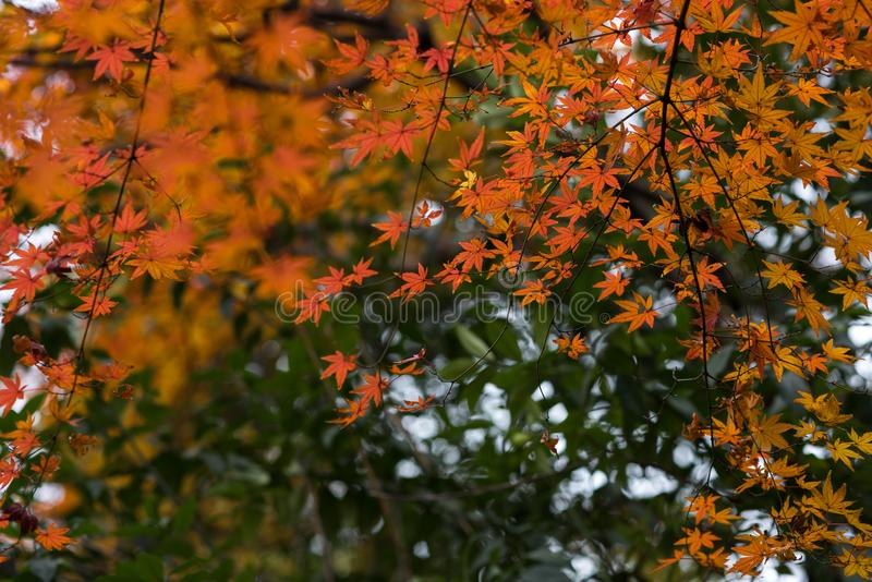 Red leaf-Acer palmatum. In the park, Acer palmatum red leaves, the taste of autumn royalty free stock photos