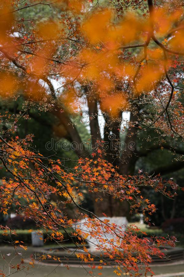 Red leaf-Acer palmatum. In the park, Acer palmatum red leaves, the taste of autumn stock photos