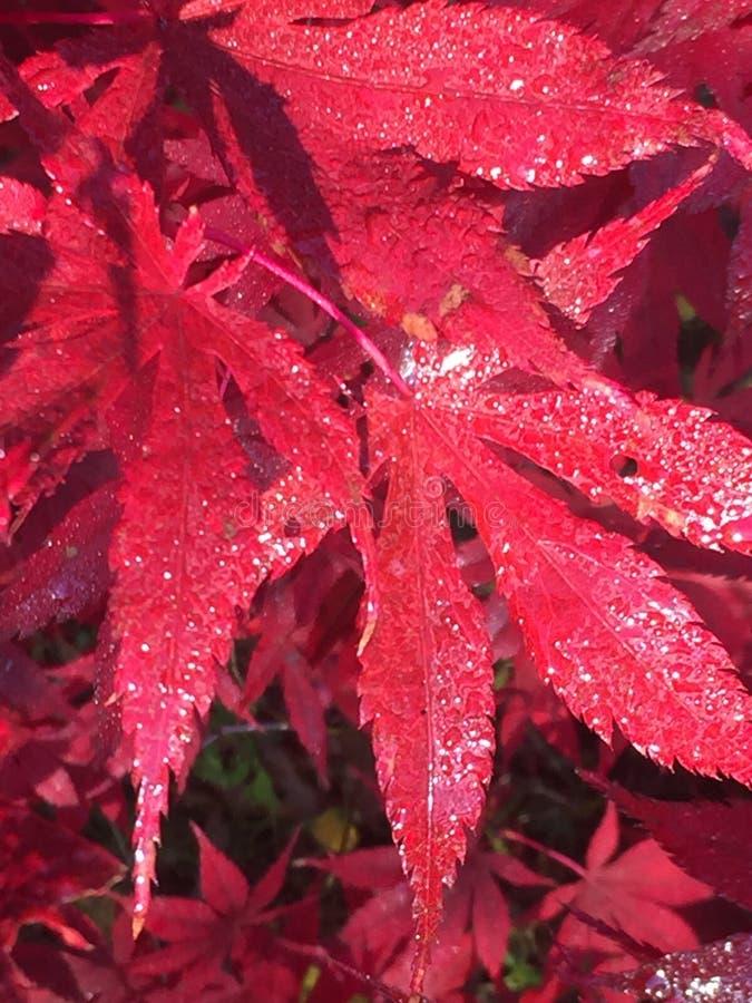 Red, Leaf, Autumn, Maple Leaf stock photos