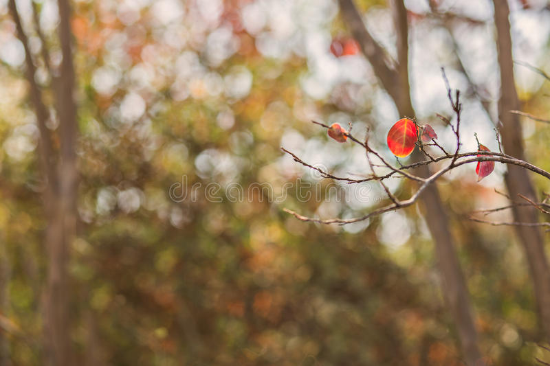 Red leaf background. Singe leaf on tree , fall season background royalty free stock image